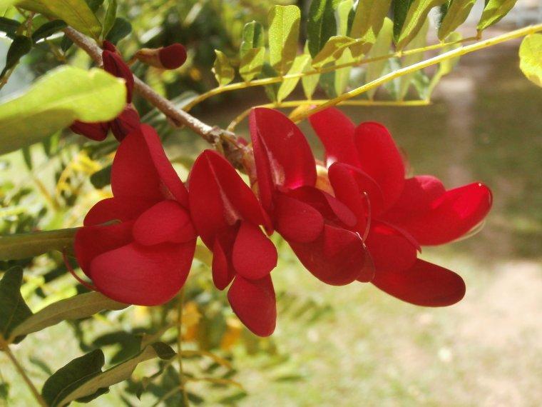 Bois Kwaib (Sabinea carinalis), którego kwiat jest symbolem narodowym Dominiki