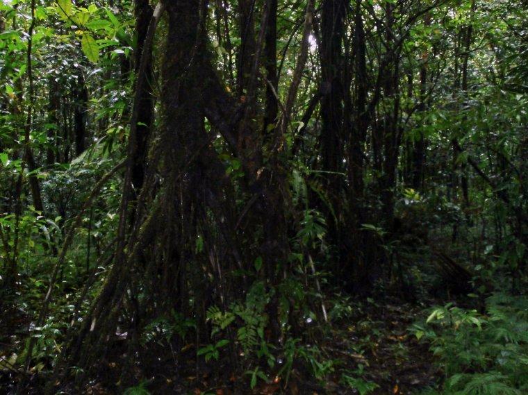 """""""Kroczące"""" drzewa - przystosowanie do niewielkiej ilości gleby i erozji wodnej."""