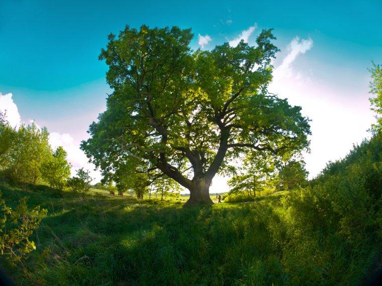 Drzewo Roku 2014: Dąb Słowianin