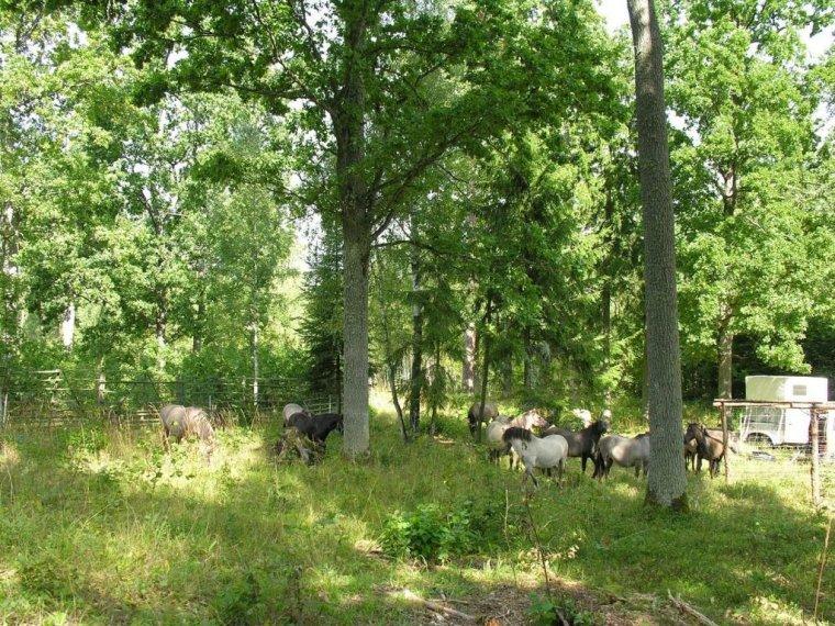 Koniki polskie pomagają przywrócić dąbrowę świetlistą