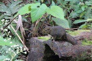 Wiewiórka górska (Dremomys everetti) występuje jedynie na Borneo.