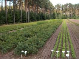 Las Klientów - szkółka drzew Nadl. Sulęcin