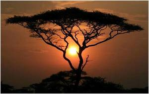 Drzewo okoume