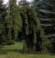 Taka choinka zrobi wrażenie w każdym ogrodzie – świerk Inversa