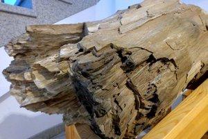 Skamieniałe drewno pochodzące z terenu Roztocz Wschodniego (eksponat IBL)