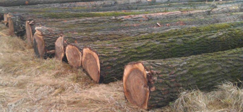 Topol, Topola drewno okragle